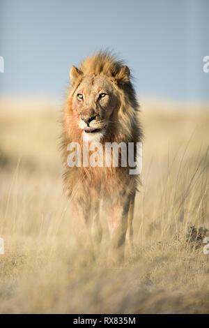 Männliche Löwe in der Nähe von Halali im Etosha National Park, Namibia. - Stockfoto