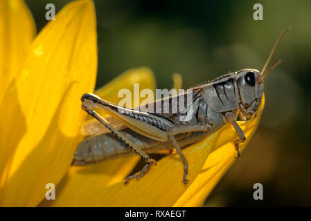 Grashüpfer, Melanoplus sp., auf Raps Sonnenblumen blühen, Saskatchewan, Kanada - Stockfoto