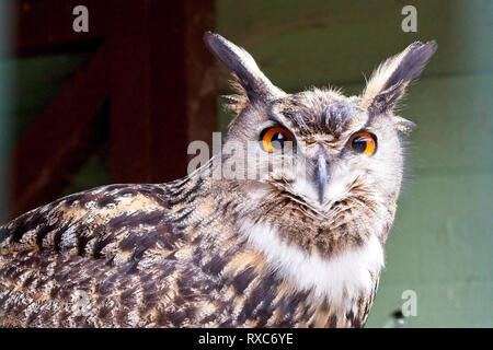 Europäische Uhu (Bubo bubo), von in Gefangenschaft gehaltenen Vögeln. - Stockfoto