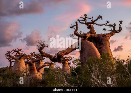 Baobab in der Nähe von Andavadoaka, westlichen Madagaskar - Stockfoto