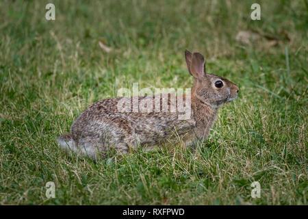 Östlichen Cottontail Rabbit (Sylvilagus floridanus), Toronto, Ontario, Kanada - Stockfoto