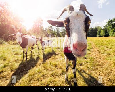 Nahaufnahme einer Ziege - Stockfoto