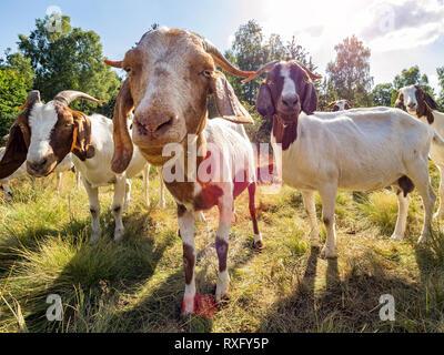Nahaufnahme einer Ziege und Ziegen im Hintergrund - Stockfoto