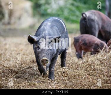 Domestizierte Schweine im Freien pen, Manitoba, Kanada - Stockfoto