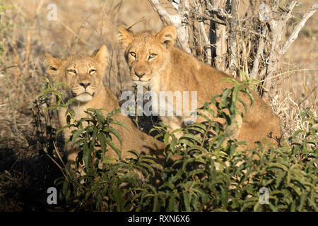 Lion Cub in Chobe National Park. - Stockfoto