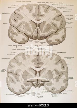 Anatomie des menschlichen Gehirns und die damit verbundenen Strukturen - Stockfoto