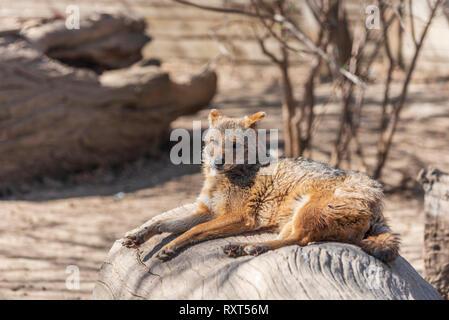 Canis aureus Schakal - Stockfoto
