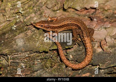 Gemeinsame Lizard (Lacerta vivipara)