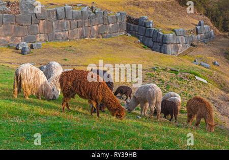 Eine Gruppe von Lamas und Alpakas weiden auf Zarte grüne Gras in der archäologischen Inka Ruinen von Sacsayhuaman in der Stadt Cusco, Peru. - Stockfoto