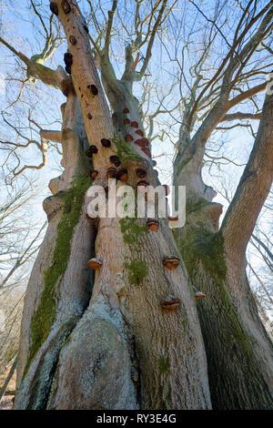 Zunder Pilz, Urwald Urwald Sababurg, Hofgeismar, Weserbergland, Nordrhein-Westfalen, Hessen, Deutschland - Stockfoto