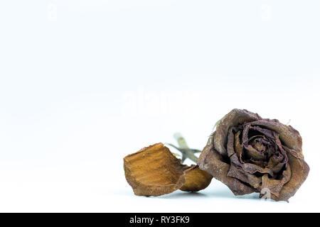 Closeup verwelkt roten Rose auf weißem Hintergrund. Das Konzept der Enttäuschung über die Liebe oder gebrochene Herzen. - Stockfoto