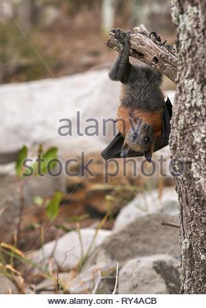 Eine graue Flying Fox (pteropus poliocephalus), klammert sich an der Unterseite eines Baums; es hat gebrochen ist es Flügel in starke Winde, und müssen nach unten gestellt werden. - Stockfoto