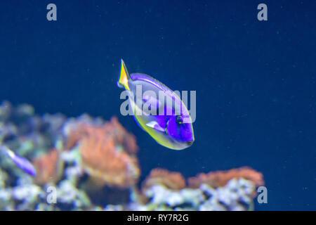 Tropische Blau Fische, Korallen, Reef - Stockfoto