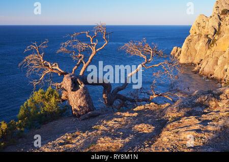 Beispiel für das Überleben in der rauen Bedingungen. Die alten krummen Baum wächst auf dem Felsen. Blick auf das Meer. Sonnigen Abend - Stockfoto