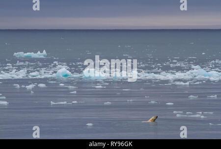 Eisbären schwimmen in einem Gewässer von Svalbard, auf der Suche nach Essen - Stockfoto