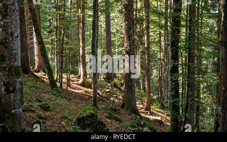 Ein Weg führt nach oben zwischen die Bäume eines Waldes in den Schweizer Jura. Der Wald ist die grüne withmoss und Stöcke und Bäume