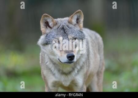 Europäische Wolf - Eurasischen Wolf (Canis lupus Lupus) Portrait - Details - Han-sur-Lesse - Belgien - Stockfoto