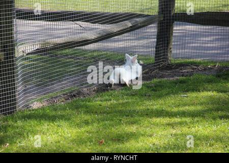 Flauschige weiße kleine Hase Hase von hinten in einen kleinen Zoo niedlich. Frühling im Keukenhof flower garden, Niederlande - Stockfoto
