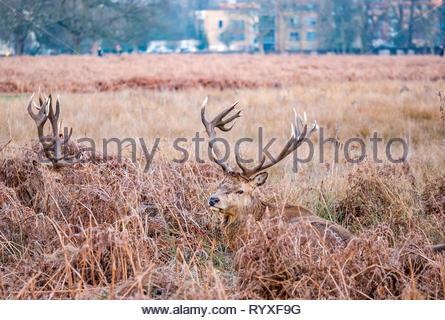 Männliche Rothirsche Hirsche mit Geweih liegen in Bracken, Buschy Park, London, England, UK in der Abenddämmerung - Stockfoto