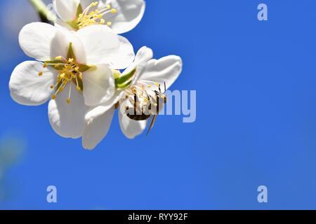 Frühling Hintergrund. Einen schönen blühenden Baum im Frühling mit einem Flying bee. Symbole des Frühlings. Konzept für die Natur und die Tiere. - Stockfoto