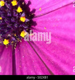 Makro einer Osteospermum Fructicosum Blume. - Stockfoto