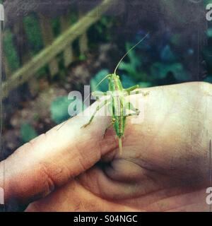 Des Mannes Hand, die eine grüne Heuschrecke im Garten - Stockfoto