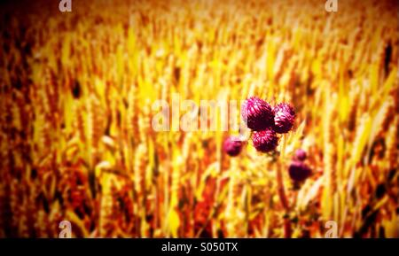 Distel und Weizen Feld Stockfoto