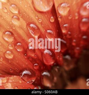 Wassertropfen auf einem Blütenblatt Gazanien - Stockfoto