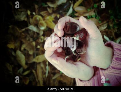 Mädchens Hand hält Herbst Herbst Ernte von Kastanien. Stockfoto