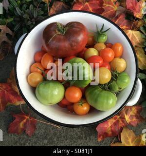 Letzte Ernte der Saison. Bio. Erbstück. Homegrown. Tomaten. Stockfoto