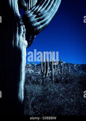 Saguaro Kaktus Gnade ein Hügel in der Sonora-Wüste, Catalina, Arizona, USA. - Stockfoto