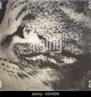 Monochrome Tabbykatze Profil - Stockfoto