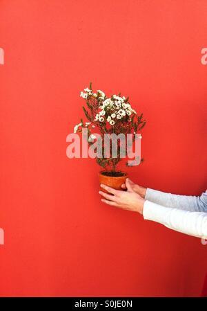 Nahaufnahme von Händen mit Blumen vor einem hellen Hintergrund Stockfoto
