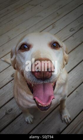 Gelber Labrador Retriever Lächeln für ihr Bild. - Stockfoto