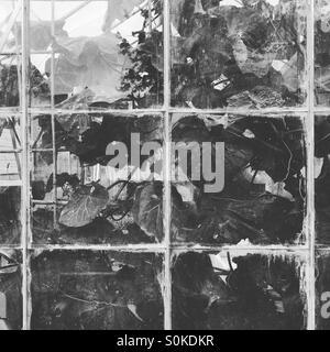 Gurken im Gewächshaus - Stockfoto