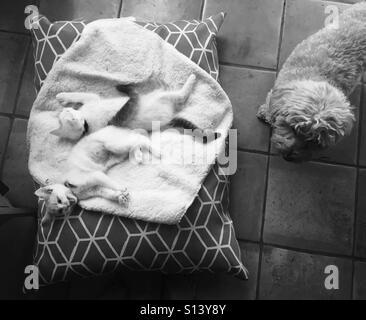 Zwei Kätzchen liegen auf ein Hundebett verhindert, dass des Hunds liegend darauf. - Stockfoto