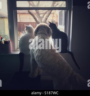 Zwei Katzen und ein Hund sind fasziniert von etwas außerhalb des Fensters. - Stockfoto