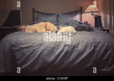 Ein Hund und zwei Katzen nehmen das gesamte Bett. - Stockfoto