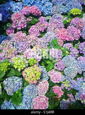 Bereich der Hortensie blau und lila - Stockfoto