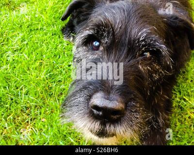 Reifen Patterdale Terrier bereit zu stürzen! - Stockfoto