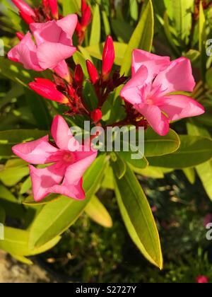 Rosa Nerium oleander - Stockfoto