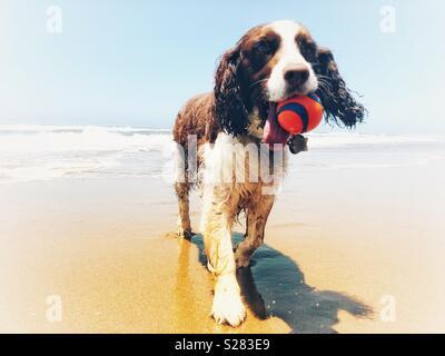 Stolz nass English Springer Spaniel Mädchen ruft orange Ball von den Wellen auf einem goldenen Sandstrand unter einem Summer Blue Sky - Stockfoto