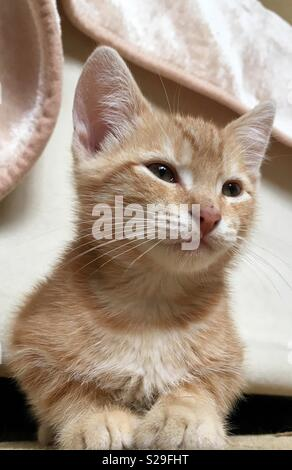10 Woche alt Ginger tabby cat Kitten - Stockfoto
