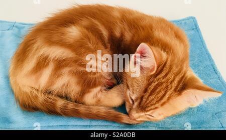 11 Woche alt Ginger tabby cat Kitten schlafen - Stockfoto