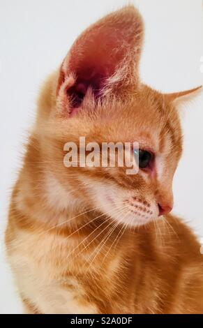 11 Woche alt Ginger tabby cat Kitten - Stockfoto