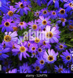 Lila aster Blumen im Garten - Stockfoto