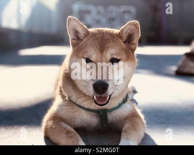 Shiba Inu Japanischer Hund am Boden - Stockfoto