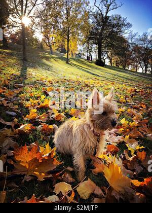 Ziemlich Cairn Terrier Welpen unter Blätter im Herbst an einem sonnigen Tag im Kelvingrove Park Glasgow. - Stockfoto
