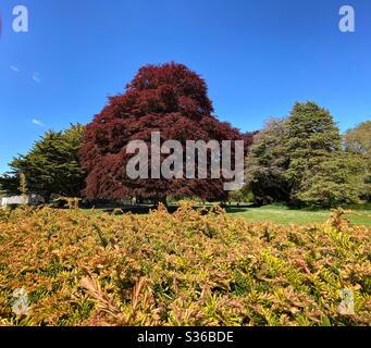 Die spektakulären Farben einer Kupferbuche (fagus sylvatica Seat Magret, dominiert die Landschaft in der Parklandschaft des Corcagh Park, Clondalkin, Irland.