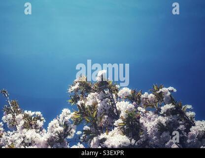 Ein Foto von zarten weißen und rosafarbenen Blüten auf einem Baum vor einem tiefblauen Himmel. Wasserfilter-Effekt